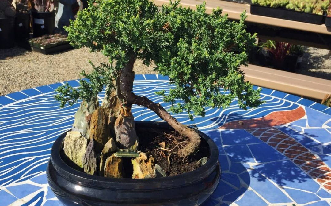 Beginning Bonsai – Saturday July 18th 2020 11:00 AM